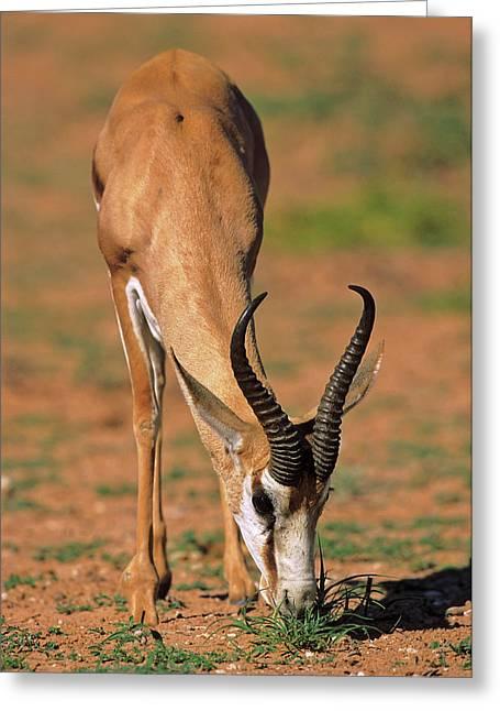 Springbok (antidorcas Marsupialis Greeting Card by Martin Zwick