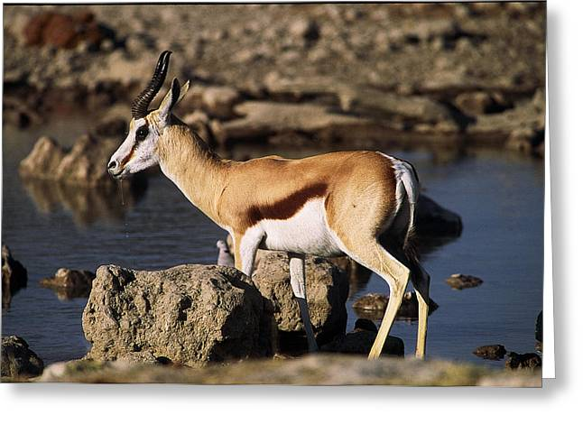 Springbok Drinking Greeting Card by Stefan Carpenter