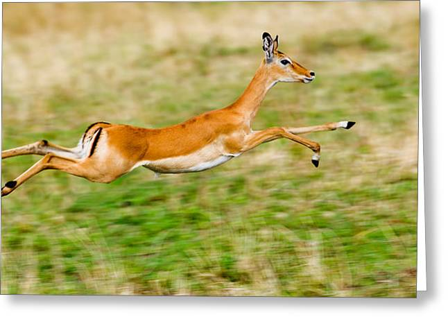 Springbok Leaping In A Field Greeting Card by Panoramic Images