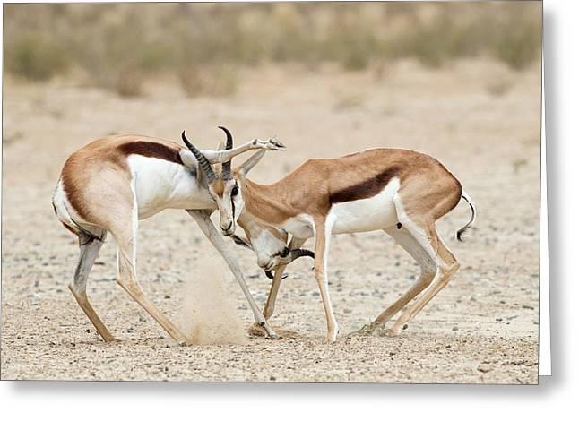 Springbok Males In Territorial Combat Greeting Card