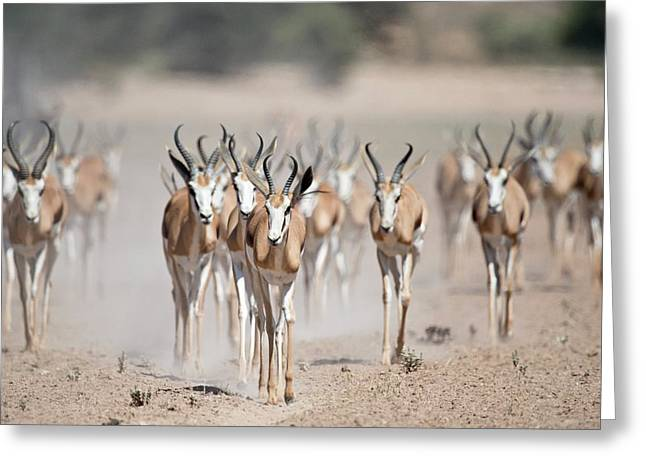 Springbuck Herd Moving To A Waterhole Greeting Card