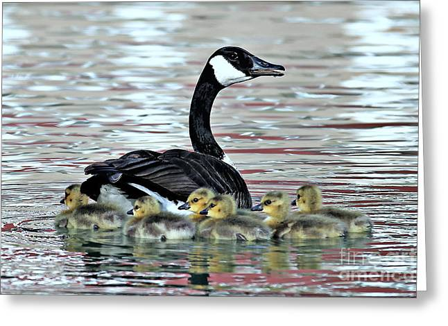 Spring's First Goslings Greeting Card