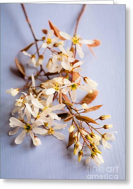 Springtime Amelanchier Blossom Greeting Card