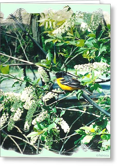 Springtime Moments- Oriole With The Cherry Blossoms Greeting Card by Patricia Keller