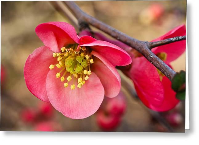 Springtime Quince Greeting Card