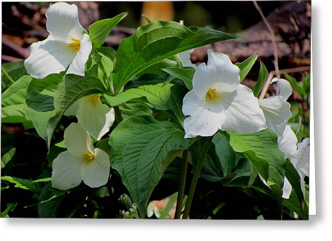 Springtime Trillium Greeting Card by David T Wilkinson