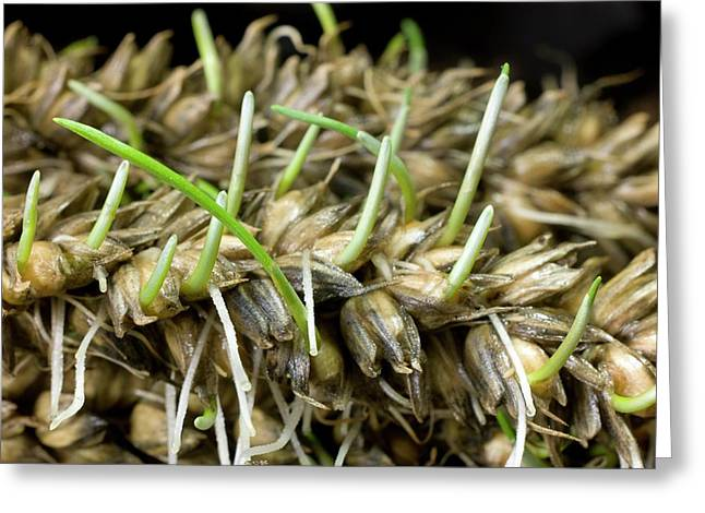 Sprouting Of Lodged Wheat Greeting Card