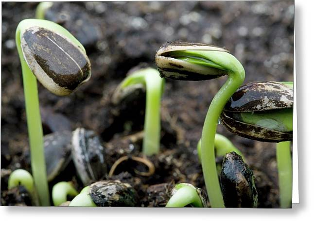 Sprouting Seedlings Greeting Card