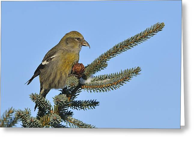 Spruce Cone Feeder Greeting Card by Tony Beck