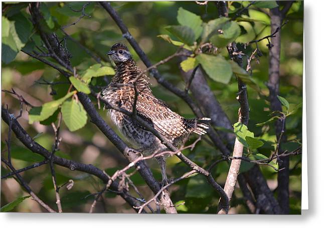 Greeting Card featuring the photograph Spruce Grouse2 by James Petersen