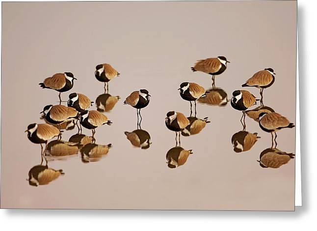 Spur-winged Lapwing (vanellus Spinosus) Greeting Card