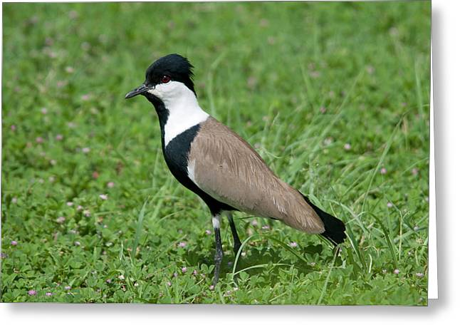 Spur-winged Plover Greeting Card by Nigel Downer