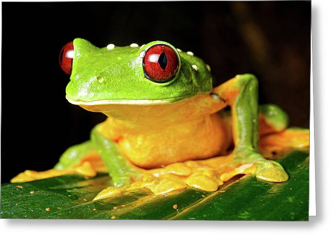 Spurell's Flying Frog (agalychnis Greeting Card by Andres Morya Hinojosa