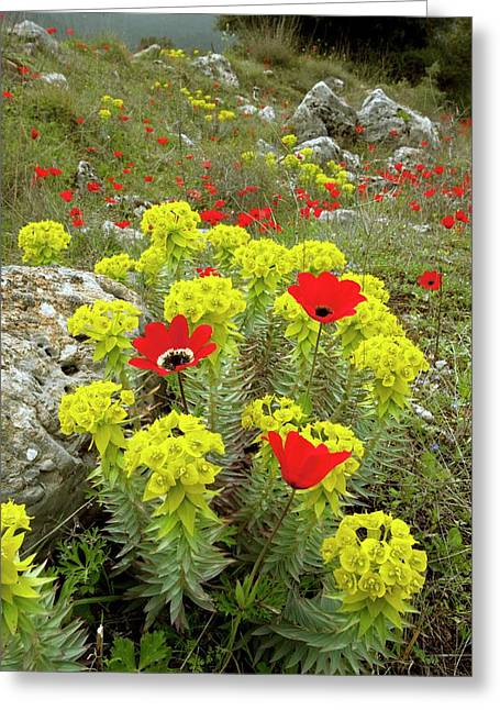 Spurge And Peacock Anemones In Flower Greeting Card
