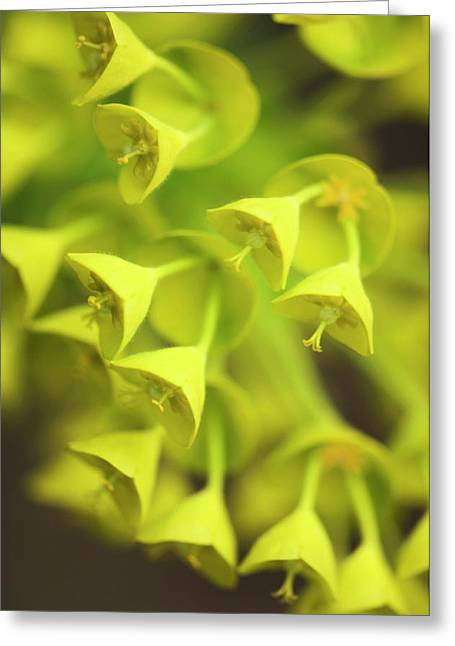 Spurge (euphorbia Characias) Greeting Card