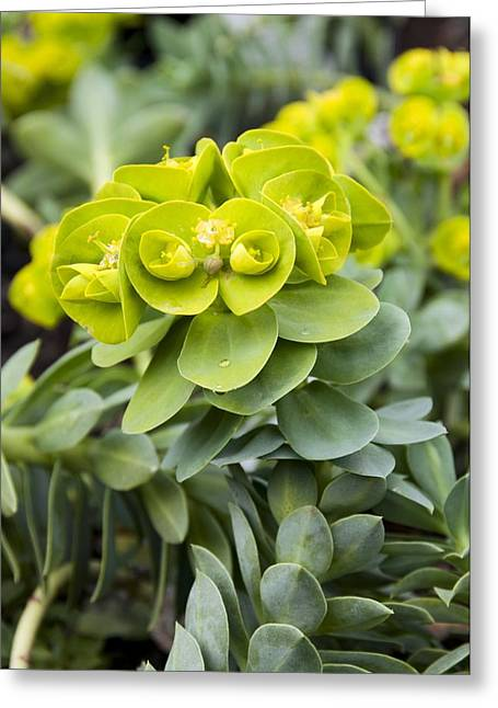 Spurge Euphorbia Myrsinites Photograph By Science Photo Library