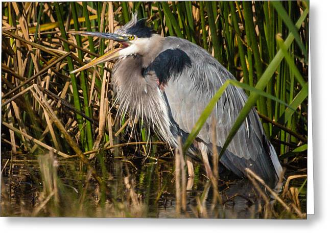 Squaking Blue Heron Greeting Card