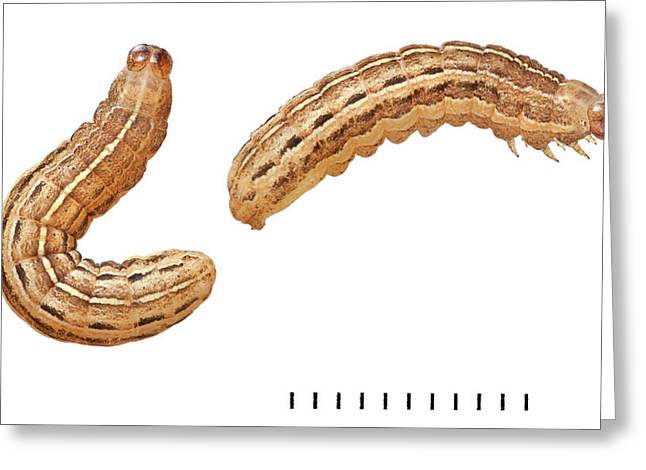 Square-spot Rustic Moth Larvae Greeting Card by Natural History Museum, London