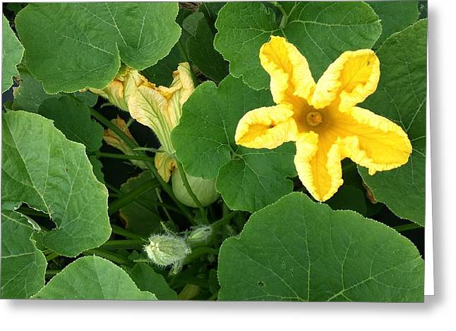 Squash Yellow Blossom Greeting Card by Mark Victors