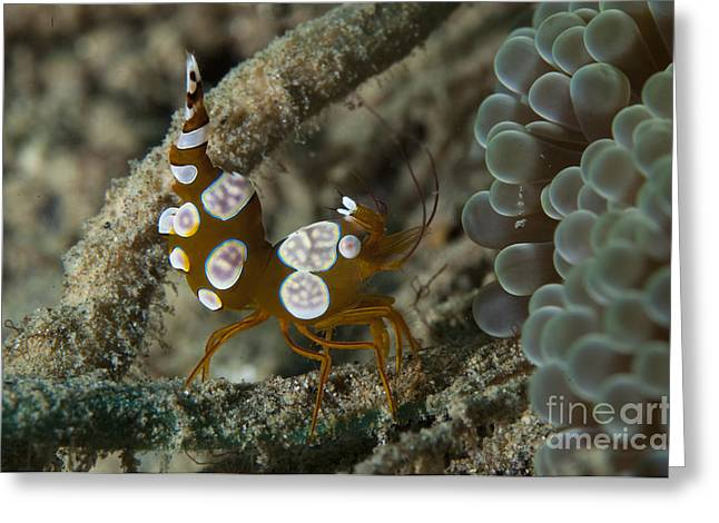 Squat Anemone Shrimp, Side View Greeting Card