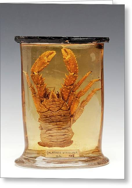 Squat Lobster Specimen Greeting Card by Ucl, Grant Museum Of Zoology