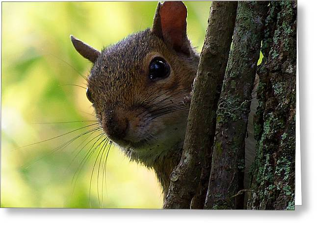 Squirrel 025  Greeting Card