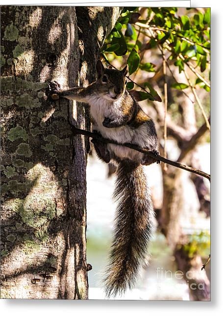 Squirrel 1 Greeting Card by Zina Stromberg