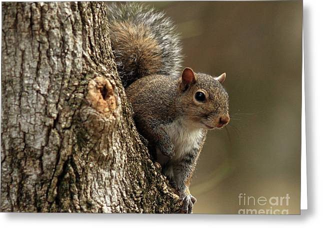 Squirrel Greeting Card by Douglas Stucky