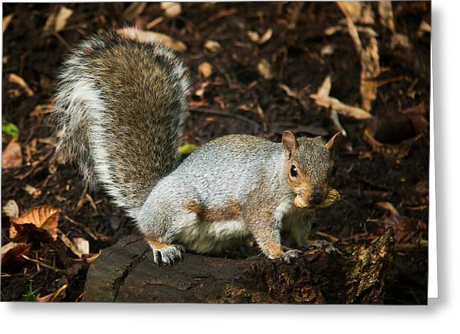 Squirrel Eating A Nut On A Tree Stump Greeting Card