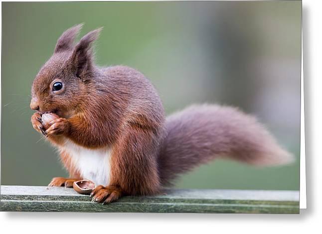 Squirrel Eating An Acorn  Cumbria Greeting Card by John Short