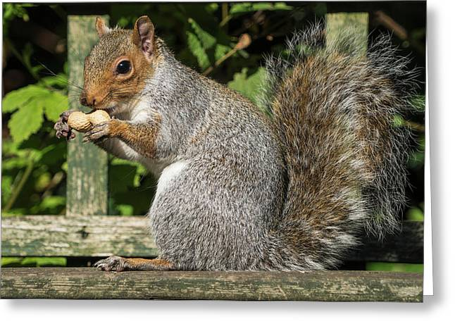 Squirrel Holding A Shelled Peanut Greeting Card by John Short