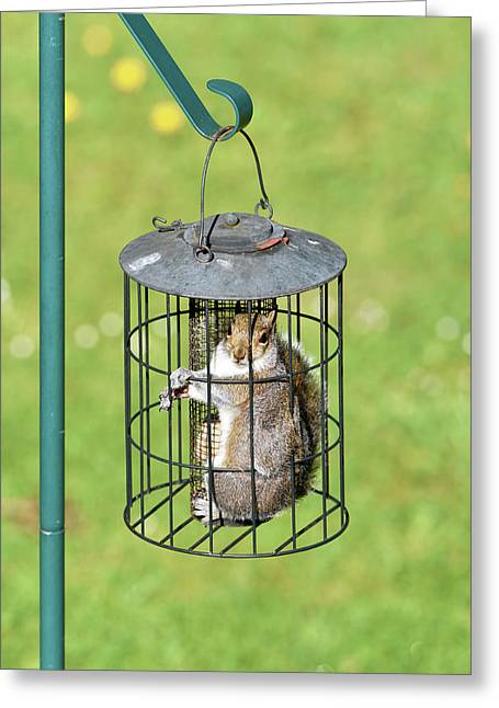 Squirrel In Bird Feeder Greeting Card by Dr P. Marazzi