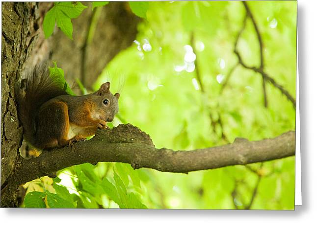 Squirrel In Tivoli Park Greeting Card