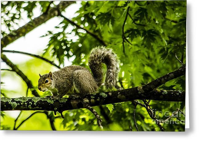 Squirrel On The Hunt Greeting Card by Deborah Smolinske