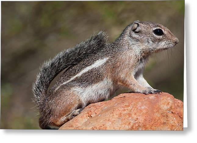 Squirrel Perched On A Rock Greeting Card by Ruth Jolly