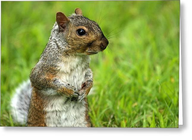 Squirrel Pose Greeting Card by Karol Livote