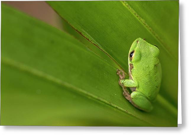 Squirrel Tree Frog, Everglades National Greeting Card by Rob Sheppard