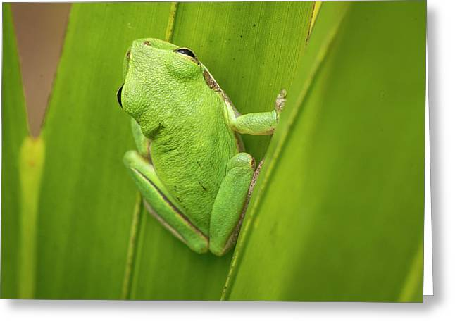 Squirrel Tree Frog In Palmetto Greeting Card by Rob Sheppard