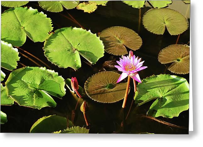 Sri Lanka, Dambulla, Water Lily Greeting Card by Stephanie Rabemiafara