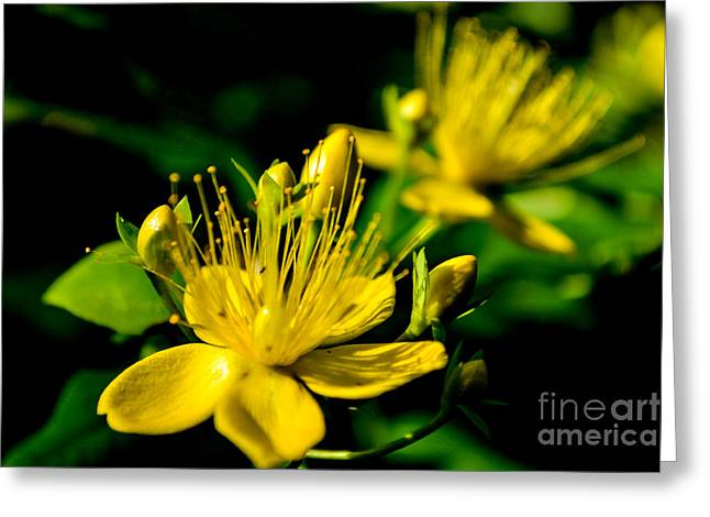 St John's Wort Greeting Card by Scott Lyons