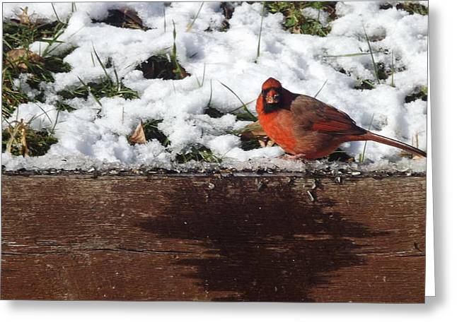 St. Louis Cardinal Greeting Card by Don Koester