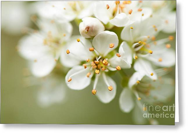 St Lucie Cherry Blossom Greeting Card