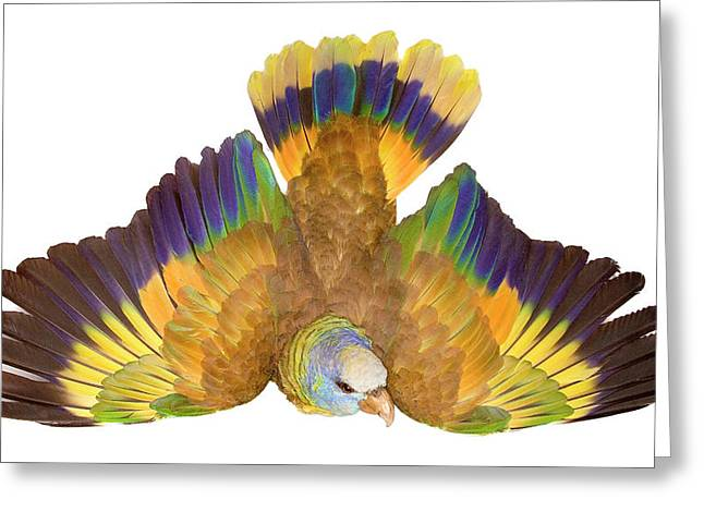 St Vincent Parrot Greeting Card by Natural History Museum, London