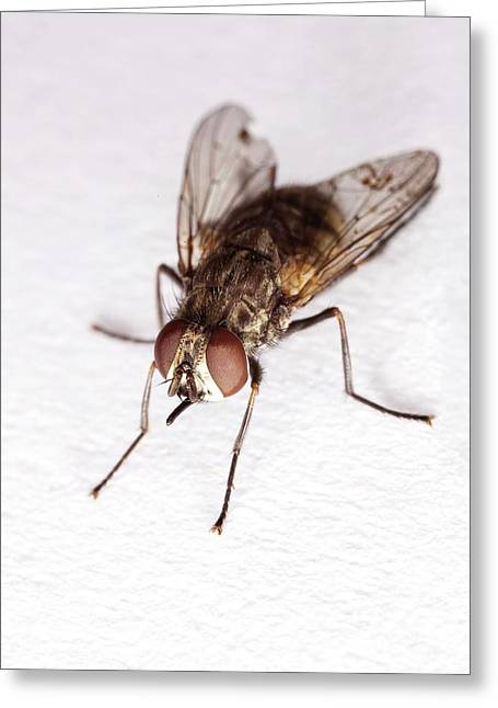 Stable Fly Greeting Card by Stephen Ausmus/us Department Of Agriculture