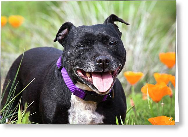 Staffordshire Bull Terrier Standing Greeting Card