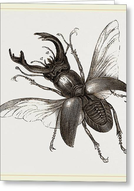 Stag Beetle, Beetle In The Family Lucanidae Greeting Card