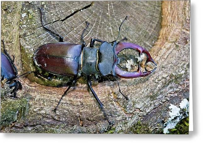Stag Beetles Greeting Card by Bob Gibbons