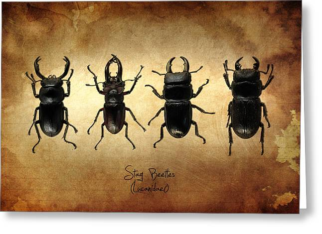 Stag Beetles Greeting Card by Mark Rogan