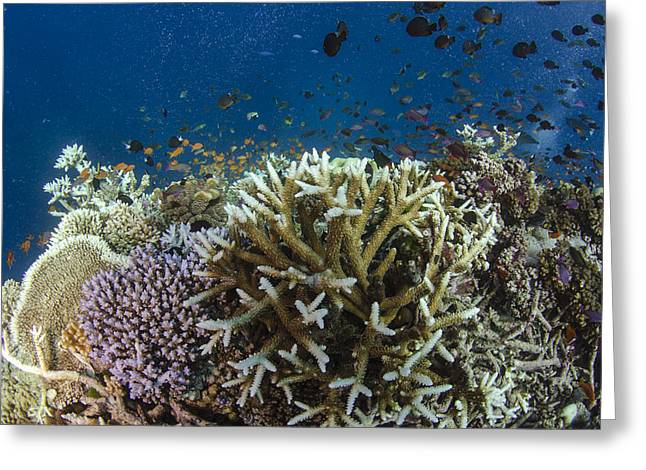 Staghorn Coral And Fish Koro Island Fiji Greeting Card by Pete Oxford