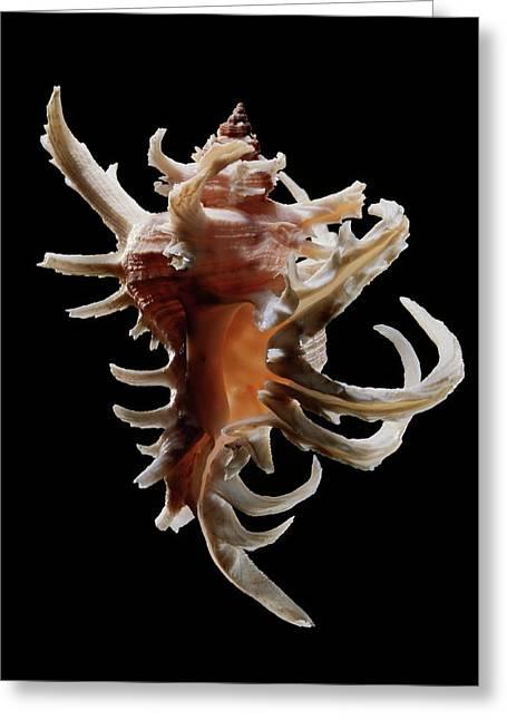 Staghorn Murex Sea Snail Shell Greeting Card by Gilles Mermet
